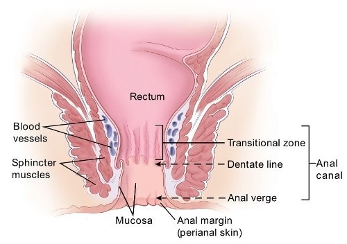 diagram showing anal structure including the anal canal, rectum, blood vessels, sphincter muscles, mucosa and anal margin