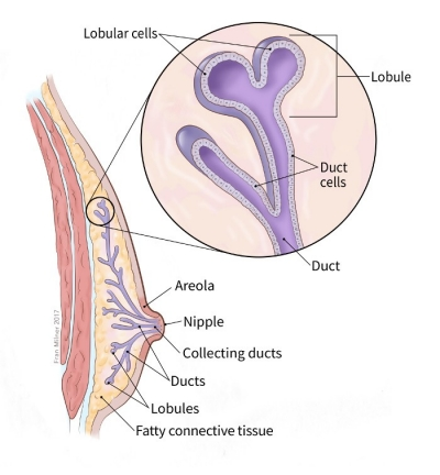 illustration showing structure of the male breast including location of the ducts, areola, nipple, collecting ducts, fatty connective tissue and lobules