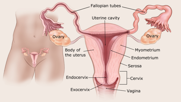 illustration showing the female reproductive organs including location of uterine cavity, endometrium, myometrium, serosa, fallopian tubes, ovaries, body of the uterus, endocervix, exocervix, cervix and vagina