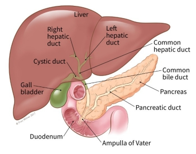 illustration showing the location of the common bile duct, liver, pancreas, pancreatic duct, ampula of vater, duodenum, gallbladder, cystic duct, right hepatic duct, left hepatic duct and common hepatic duct