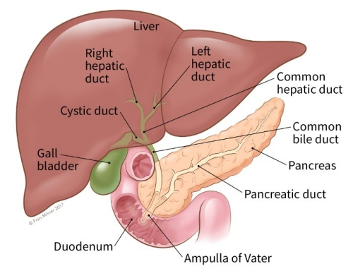 If you have pancreatic cancer illustration showing the location of the common bile duct liver pancreas pancreatic duct ccuart Images