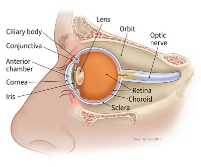 illustration showing parts of the eye including the conjunctiva, anterior chamber, cornea, lens, iris, ciliary body, orbit, optic nerve, chorid, retina and sclera