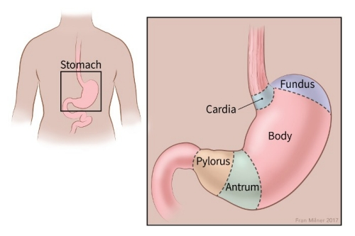 illustration showing the body of the stomach, fundus, cardia, pylorus and antrum