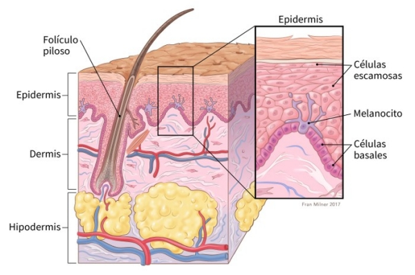 illustration showing cross section of the skin including location of hair follicle, epidermis, dermis and subcutis with details of the epidermis showing squamous cells, melanocyte and basal cells