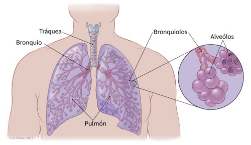 illustration showing the lungs in relation to the trachea, bronchus and bronchioles with details of the bronchioles showing the alveoli