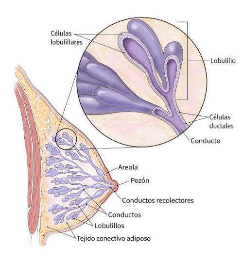 color illustration showing the structure of the breast (including location of areola, nipple, collecting ducts, ducts, lobules, fatty connective tissue, duct cells and lobular cells)