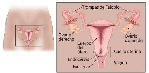 illustration showing the fallopian tubes, ovaries, body of uterus, vagina, exocervix, cervix and endocervix