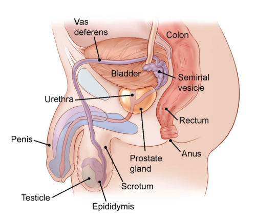 Illustration showing side view of the male pelvic area including the bladder, colon, seminal vesicle, rectum, anus, prostate gland, scrotum, epididymis, testicles, penis, urethra, vas deferens